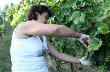 Varazdin, 090911.U vecini krajeva lijepe nase zapocele su berbe vinograda, a isto tako i u Zagorju, koje je od nekad poznato po vinogradarstvu, nekad po kiselim vinima, sto se zadnjih godina promjenilo, te na istim brdima danas rastu kvalitetna i vrhunska vina.U mjestu Vinica kraj Varazdina, koja se nekad zvala Vinea, te su cak i stari rimljani uzivali u vinima iz tog kraja, u vinogradu obitelji Kovacic ovih se dana intenzivno ubiru plodovi cijelogodisnjeg rada.Na slici berba Rajnskog Rizlinga.Foto: Andrej Svoger / Cropix