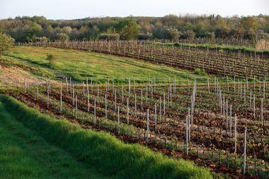 Koreniki kraj Umaga,240413.Reakcije istarskih vinara nakon sto se saznalo da je Slovenija zastitila ime Teran.Vinogradi Morena Corenice.Foto: Roberto Orlic / CROPIX