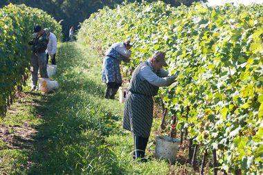 Knezevi Vinogradi, 200913.Berba grozdja sorte grasevina na beljskim vinogradima na Banovom brdu.Foto: Vlado Kos / Cropix